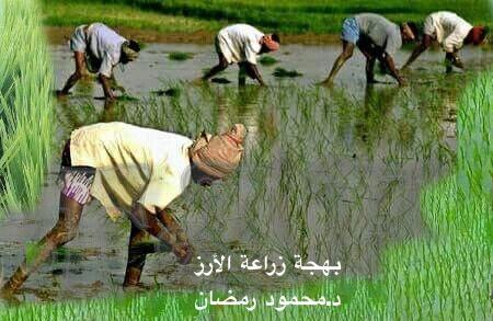 بهجة زراعة الأرز
